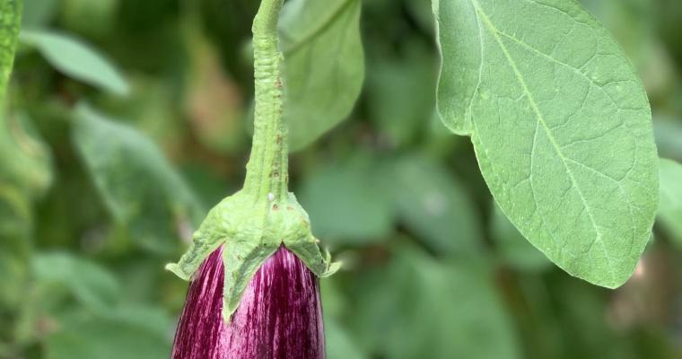 De wereld van aubergines